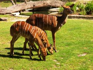 antilope-bongo